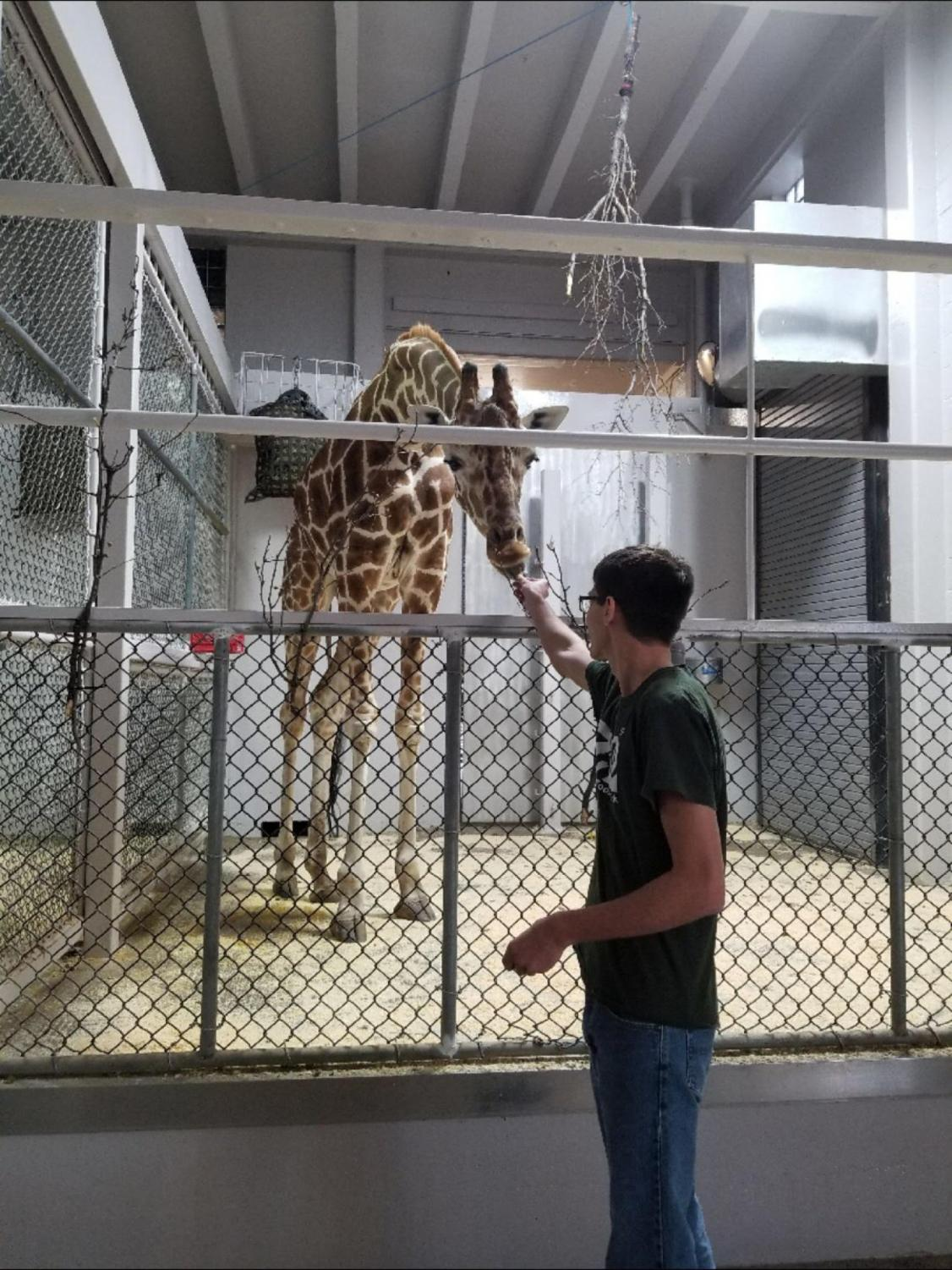During his time as an intern, senior Caleb Drane feeds giraffe, Sgt. Pepper, his midday snack